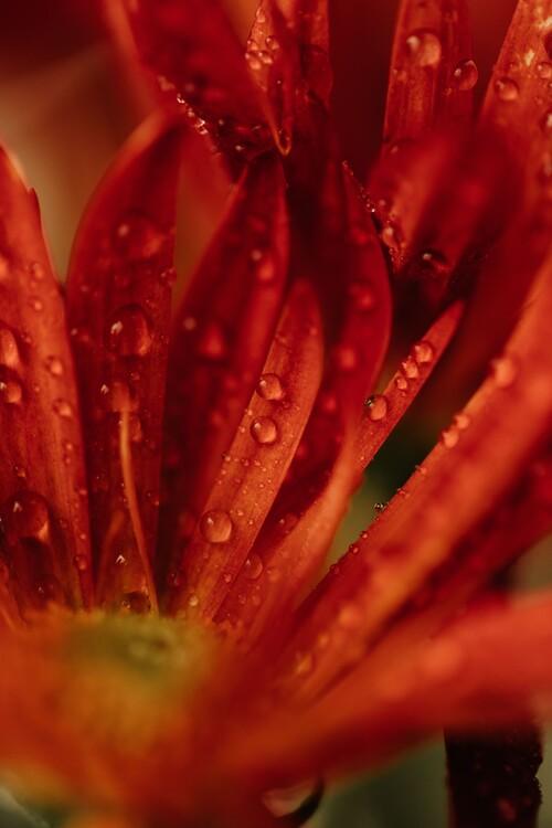Eksklusiiviset taidevalokuvat Detail of red flowers 2