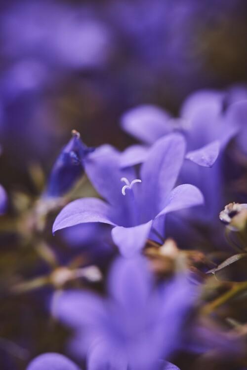 Eksklusiiviset taidevalokuvat Lilac flowers at dusk