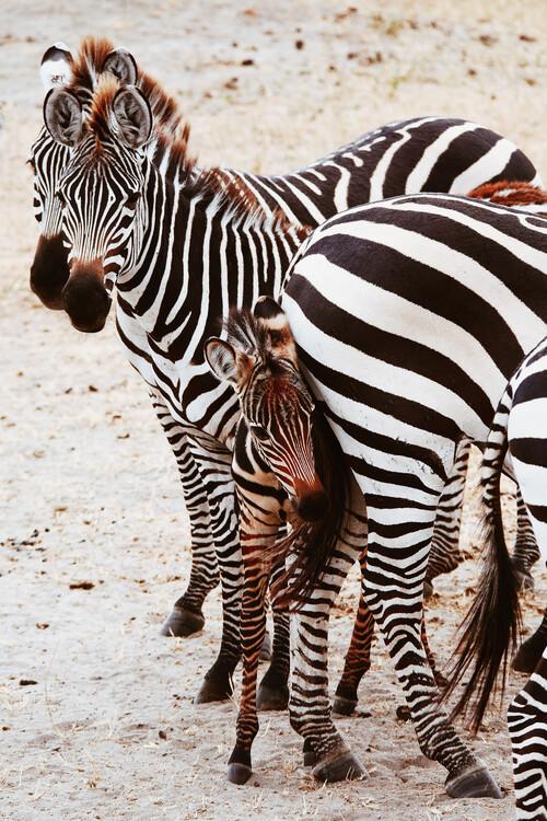 Eksklusiiviset taidevalokuvat Little zebra