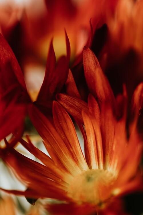 Eksklusiiviset taidevalokuvat Macro red flowers