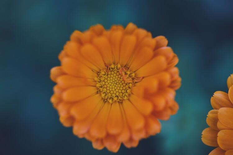 Eksklusiiviset taidevalokuvat Orange flowers at dusk 1