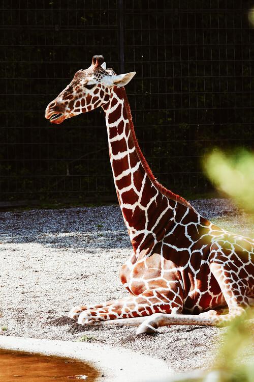 Eksklusiiviset taidevalokuvat Relaxing giraffe