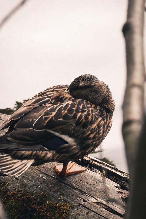 Eksklusiiviset taidevalokuvat Sleeping duck