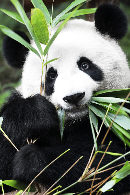 Eksklusiiviset taidevalokuvat China 10MKm2 Collection - Panda