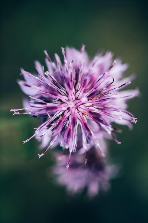 Eksklusiiviset taidevalokuvat Macro of lilac flower