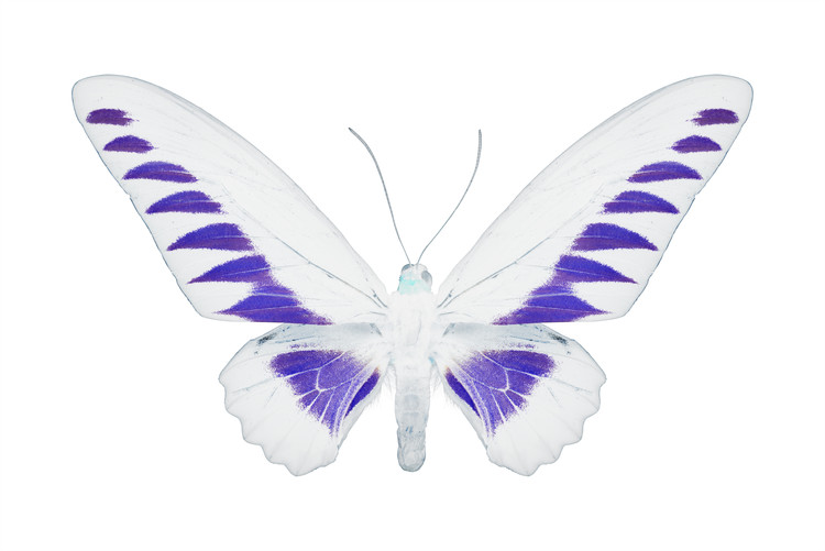 Eksklusiiviset taidevalokuvat MISS BUTTERFLY BROOKIANA - X-RAY White Edition