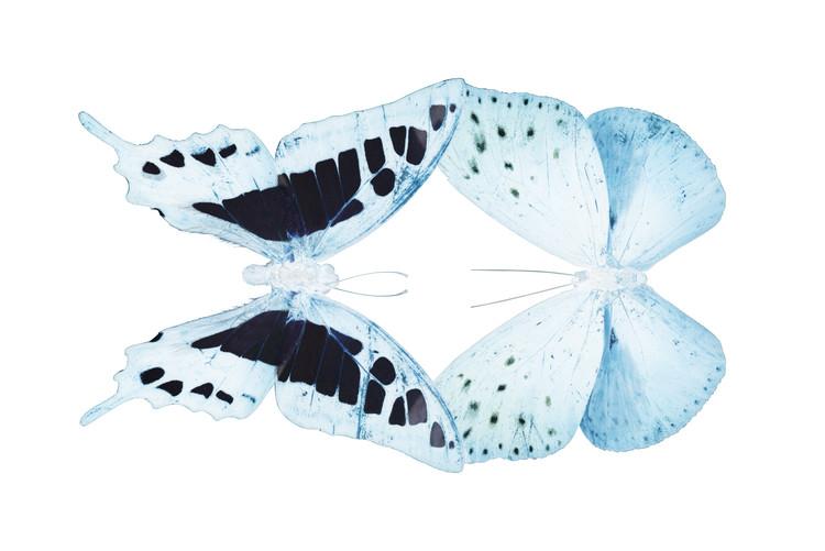 Eksklusiiviset taidevalokuvat MISS BUTTERFLY DUO CLOANTHAEA - X-RAY White Edition