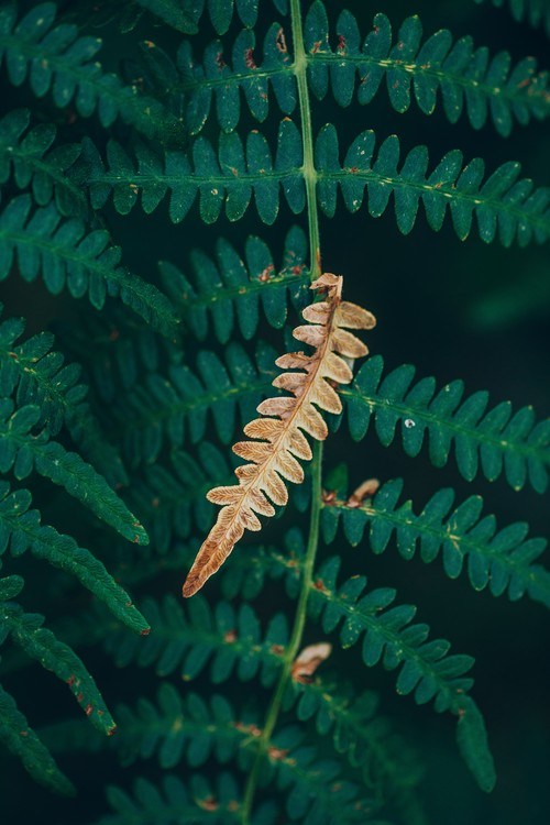 Eksklusiiviset taidevalokuvat One dry fern blade