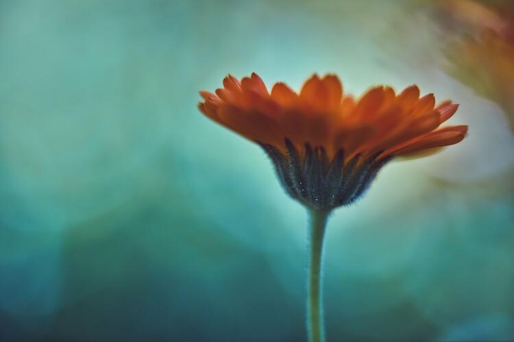 Eksklusiiviset taidevalokuvat Orange flowers at dusk