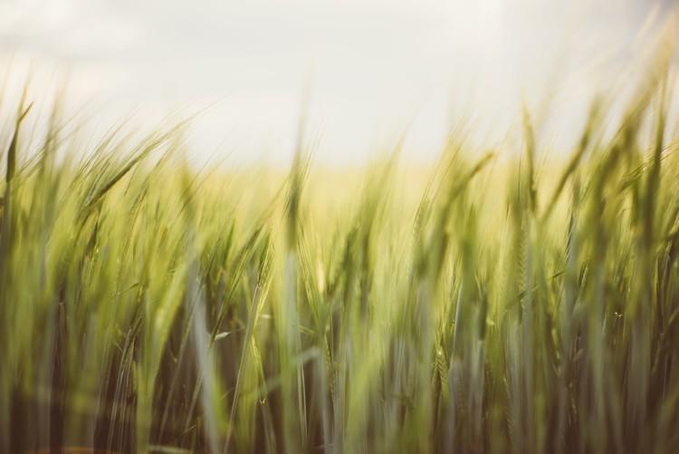 Eksklusiiviset taidevalokuvat Young cereal fields