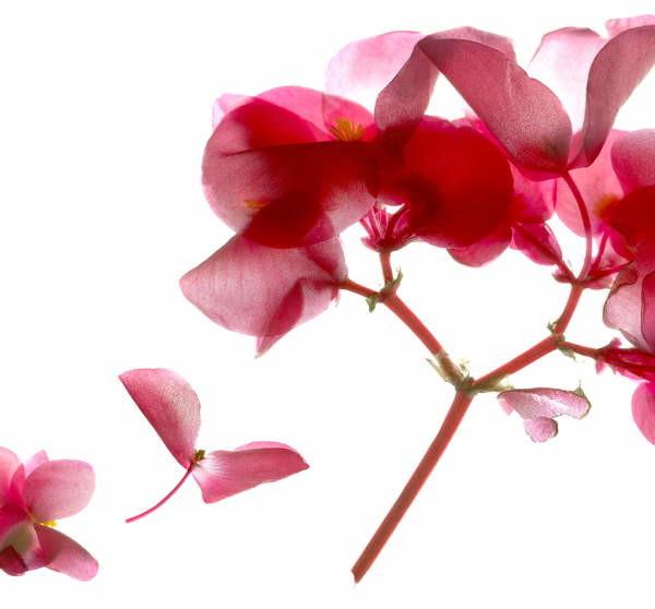 Fine Art Print Begonia Pink VII