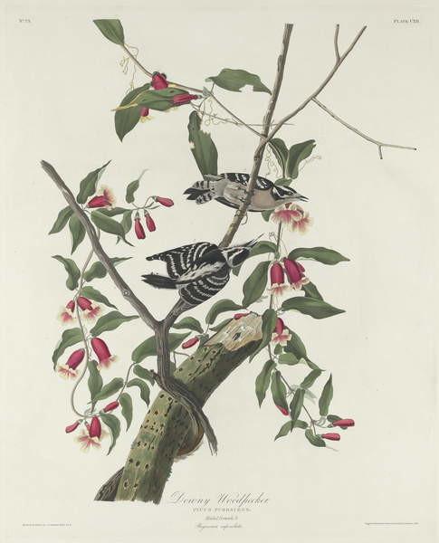 Fine Art Print Downy Woodpecker, 1831