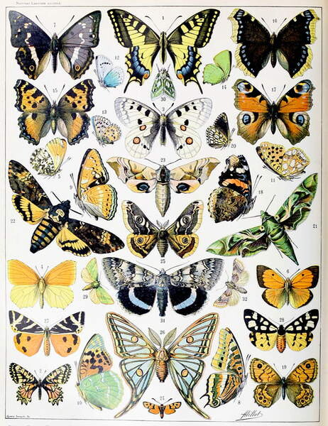 Fine Art Print Reproduction Illustration Of Butterflies And Moths C 1923