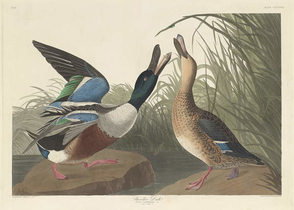 Shoveller Duck, 1836 Canvas Print