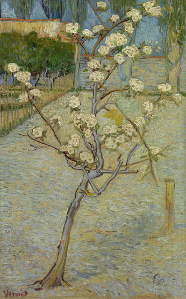 Small pear tree in blossom, 1888 Canvas Print
