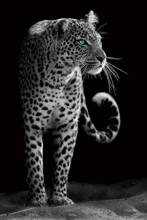 Glass Art Gepard - Black and White