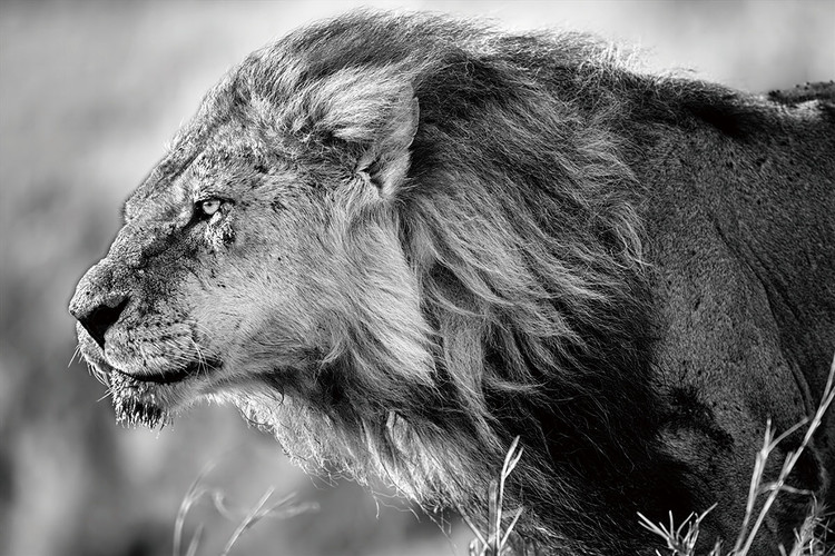 Black And White Lion Painting Pictures to Pin on Pinterest ...