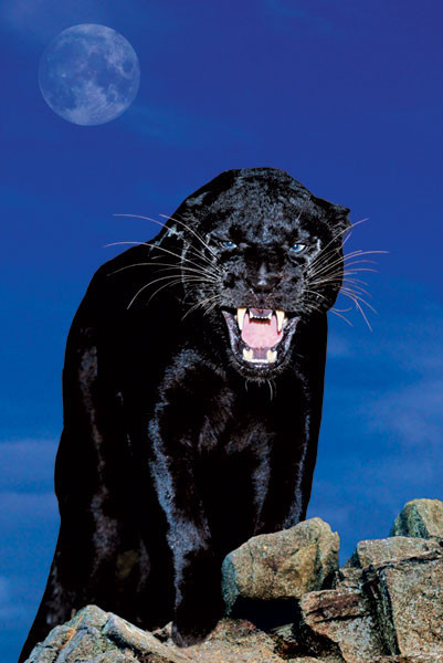 Juliste Black panther - rock