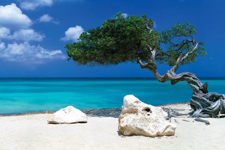 Juliste Divi Divi Tree - Tom Mackie