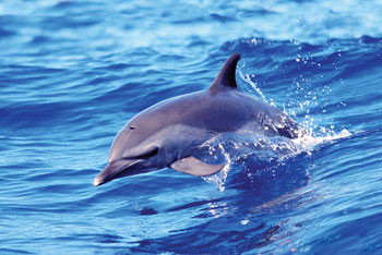 Juliste Dolphin - solo