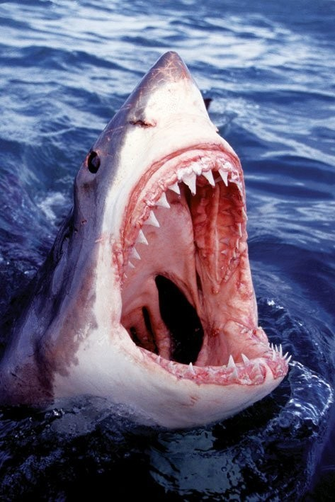 Juliste Great white shark