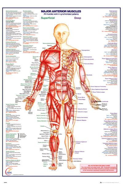 Juliste Ihmiskeho - Major Anterior Muscles