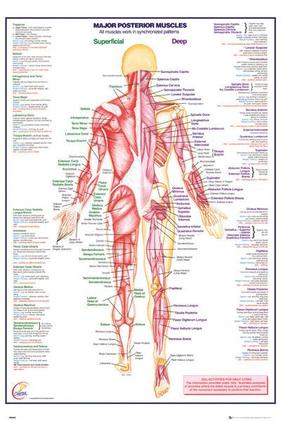 Juliste Ihmiskeho - Major Posterior Muscles