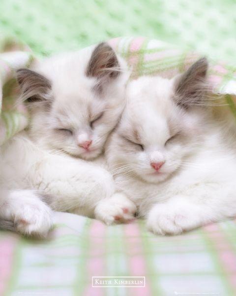 Juliste Keith Kimberlin - sleepy cats