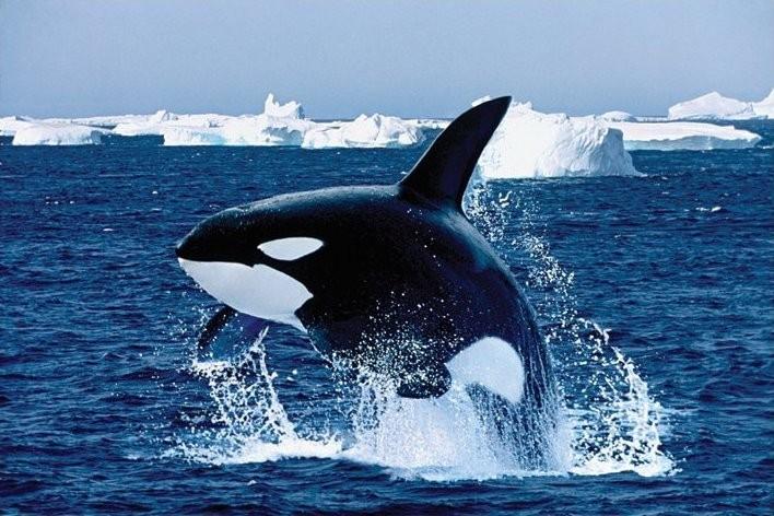 Juliste Killer whale