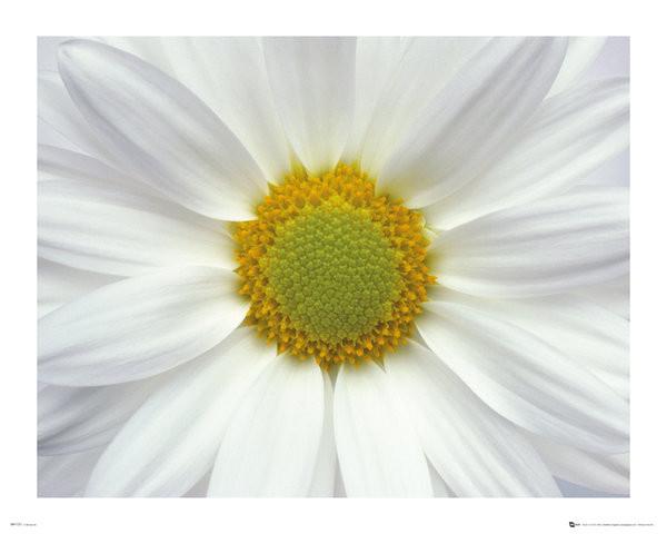 Juliste Kukkia - Päivänkakkara 2