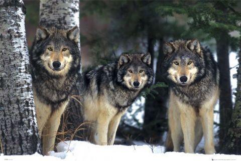 Juliste Wolves - 3 wolves