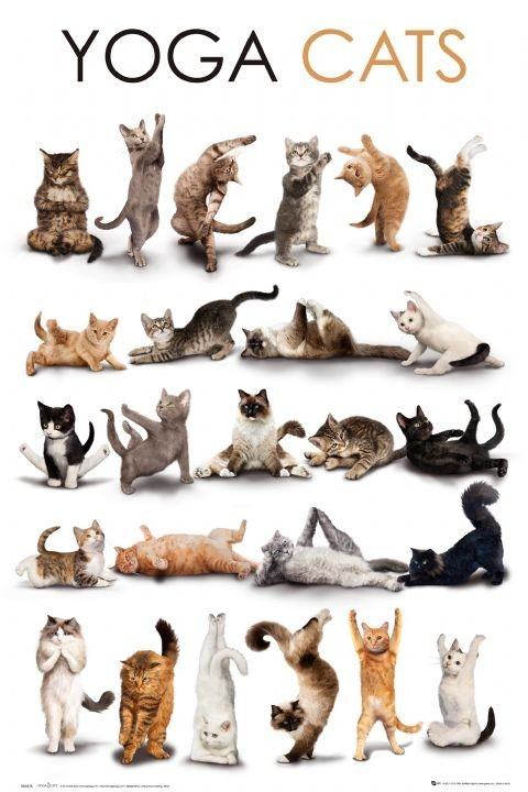 Juliste Yoga cats