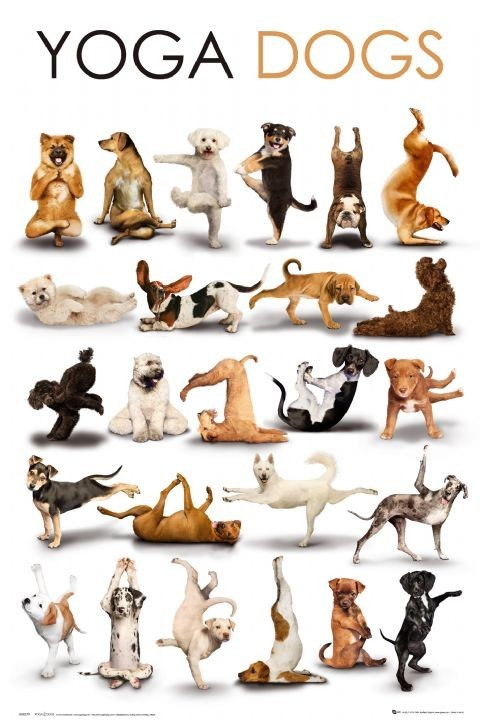Juliste Yoga dogs