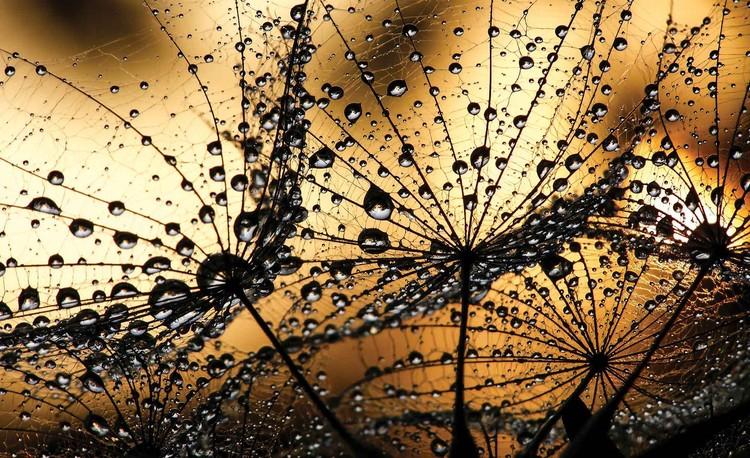 Dandelion Valokuvatapetti
