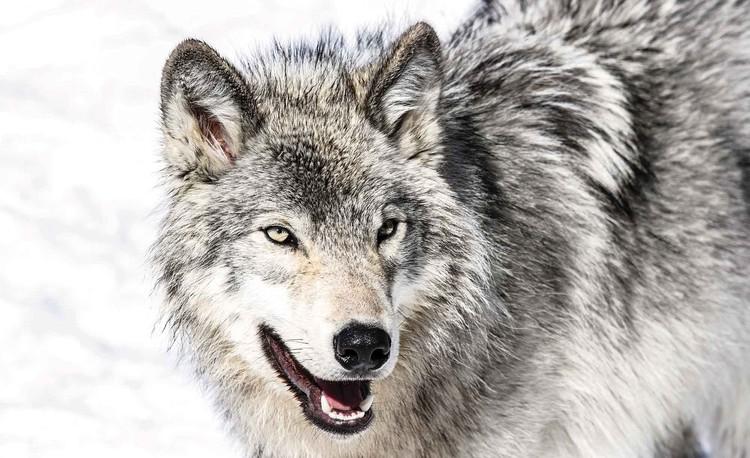Wolf Animal Valokuvatapetti