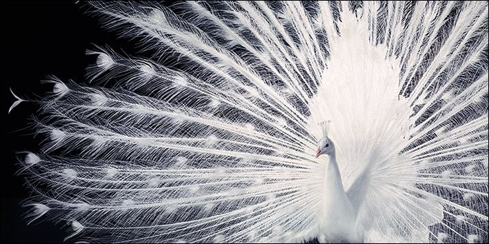 Paon - Tim Flach Reproduction d'art