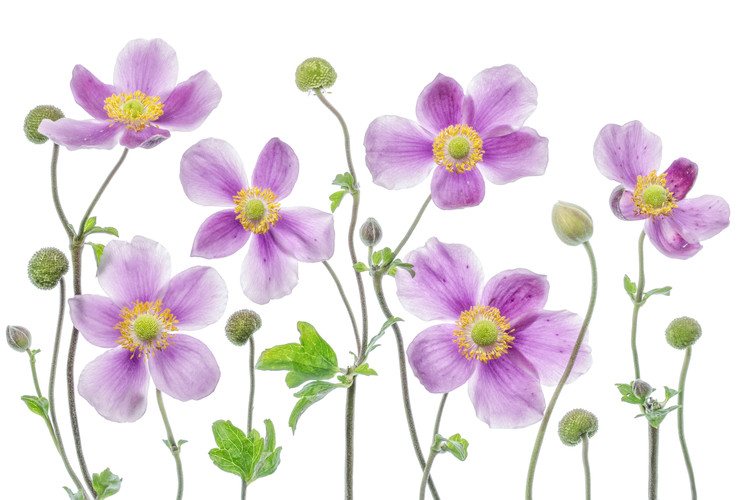 Art Print on Demand Anemone Japonica