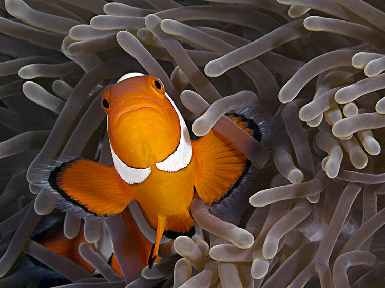 Art Print on Demand Anemonefish