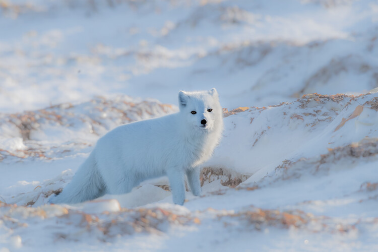 Art Print on Demand Arctic fox