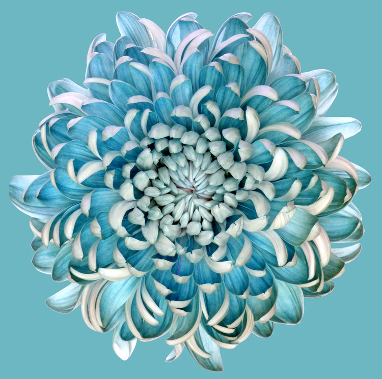 Art Print on Demand Blue Chrysanth