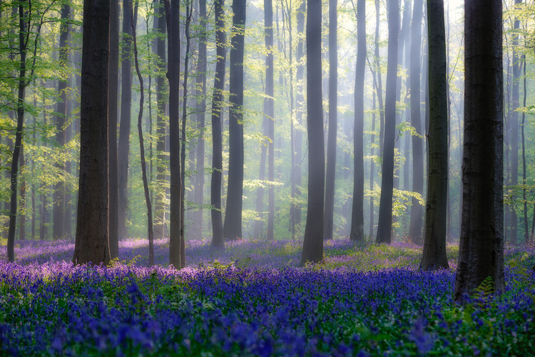 Art Print on Demand Bluebells