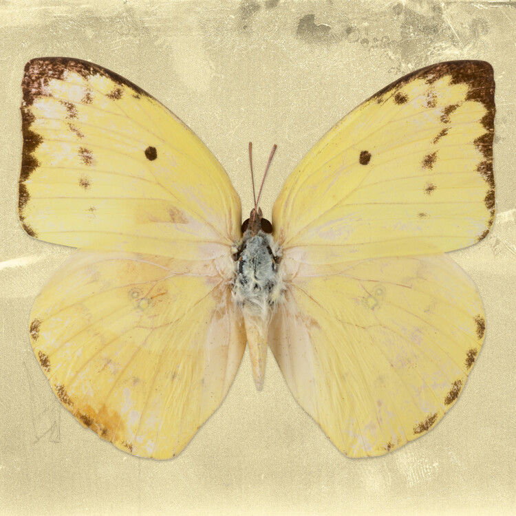 Art Print on Demand CATOPSILIA SQ - GOLD