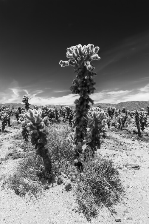 Art Print on Demand Cholla Cactus Garden, Joshua Tree National Park