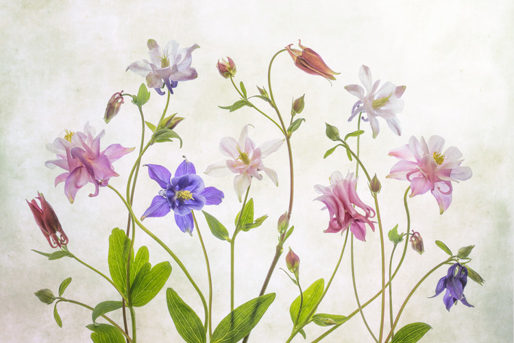 Art Print on Demand Columbine