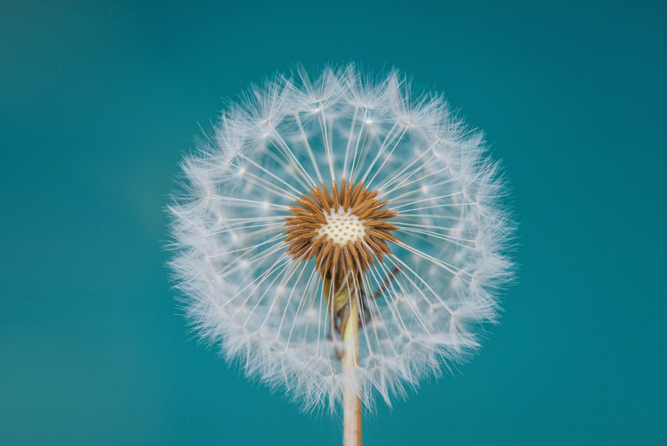 Art Print on Demand Dandelion