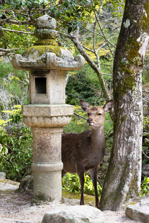Art Print on Demand Deer in Miyajima