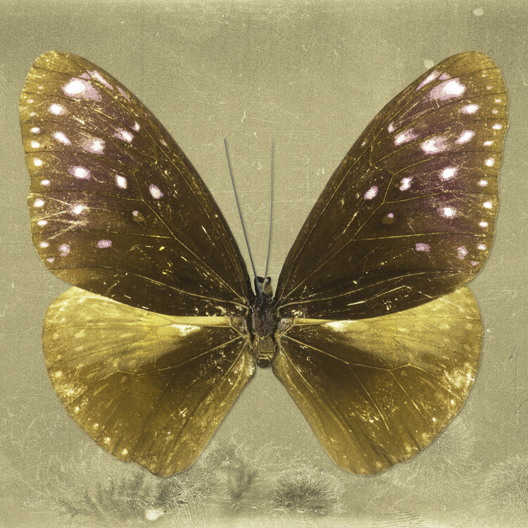 Art Print on Demand EUPLOEA SQ - GOLD
