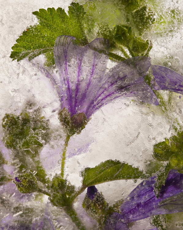 Art Print on Demand Frozen mallow flower