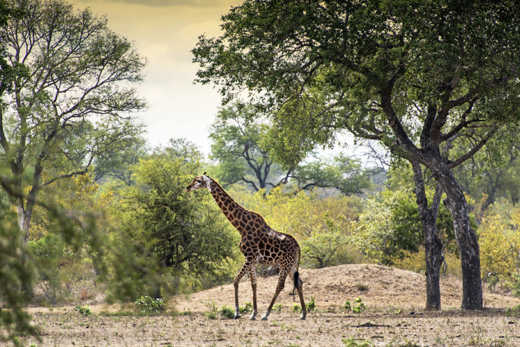 Art Print on Demand Giraffe in the Savanna