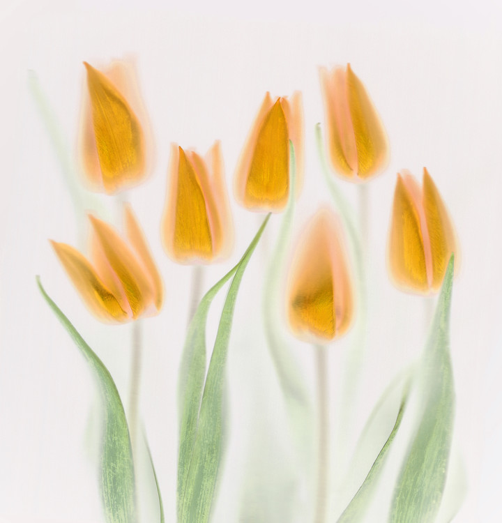 Art Print on Demand Golden Tulips